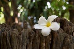 O Frangipani ? uma flor ?de termas tailandeses fotografia de stock royalty free