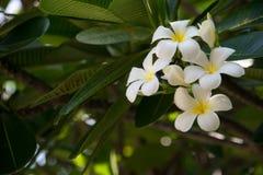 O Frangipani ? uma flor ?de termas tailandeses fotografia de stock