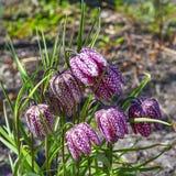 O Fritillaria do tabuleiro de damas (meleagris do Fritillaria) Imagens de Stock Royalty Free
