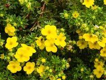 O fruticosa dourado de Dasiphora do hardhack da rosa Shrubby da tundra do cinquefoil floresce no arbusto, macro, foco seletivo, D imagens de stock