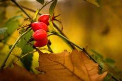 O fruto aumentou em uma árvore no outono Foto de Stock