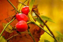O fruto aumentou em uma árvore no outono Fotografia de Stock Royalty Free