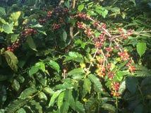 O fruto da árvore de café dos vários graus de maturidade no país tropical de Panamá nas Caraíbas foto de stock royalty free