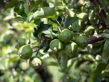 o fruto da maçã Imagens de Stock Royalty Free