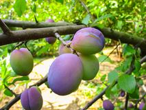 O fruto de amadurecimento em um ramo de árvore, ameixa Fotografia de Stock Royalty Free