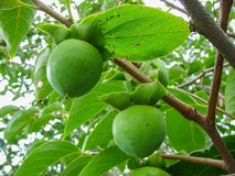 O fruto de amadurecimento em um ramo de árvore, caqui Fotografia de Stock Royalty Free