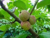 O fruto de amadurecimento em um ramo de árvore, maçãs Fotos de Stock Royalty Free