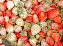 O fruto de baga vermelho da morango é colocado Imagens de Stock