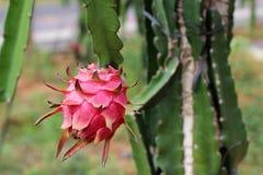 O fruto de Pitaya Fotografia de Stock