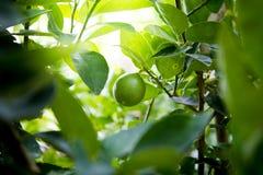 O fruto do cal, árvore do verde-lima Fotografia de Stock