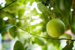 O fruto do cal, árvore do verde-lima Imagens de Stock Royalty Free