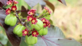 O fruto do Jatropha para destila o bio diesel video estoque
