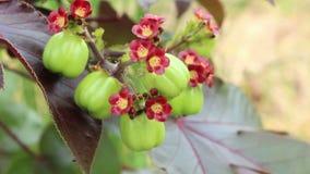 O fruto do Jatropha para destila o bio diesel vídeos de arquivo