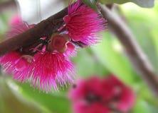 O fruto do Loquat floresce o papel de parede de alta qualidade do fundo cor-de-rosa bonito das flores do fruto do sino Fotos de Stock