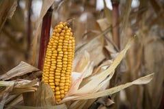 O fruto do milho antes da colheita Fotografia de Stock