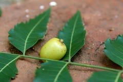 O fruto e as folhas indica de árvore de Neem do Azadirachta fecham-se acima imagens de stock royalty free