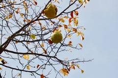 O fruto maduro grande da árvore de marmelo chinesa Pseudocydonia sinen imagens de stock royalty free