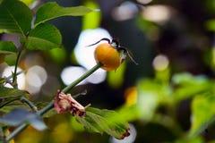 O fruto surpreendente de Rosa foto de stock