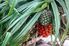 O fruto vermelho e verde do tectorius de Hala Pandanus foto de stock