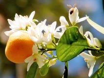 O frutta del mandarino di Yehuda e fiore 2011 Fotografia Stock