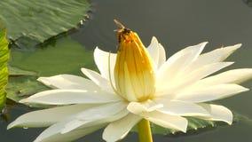 O funcionamento da abelha nos lótus e do grupo da abelha encontra o pólen em lótus no dia na manhã vídeos de arquivo