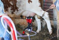 O funcionamento e o homem da máquina de ordenha da vaca mantêm-se amarraram o pé da vaca fotos de stock