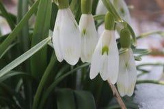 O fundo adiantado bonito da natureza da mola com snowdrops floresce Foto de Stock Royalty Free