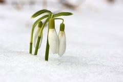O fundo adiantado bonito da natureza da mola com snowdrops floresce Imagem de Stock Royalty Free