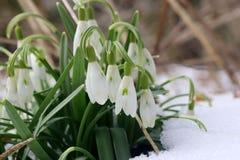 O fundo adiantado bonito da natureza da mola com snowdrops floresce Fotos de Stock Royalty Free