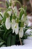 O fundo adiantado bonito da natureza da mola com snowdrops floresce Foto de Stock
