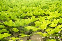 O fundo adiantado do outono com a hera cinco-com folhas da trepadeira de Victoria deixa o rastejamento na parede branca na luz so Imagem de Stock Royalty Free