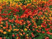 O fundo alaranjado das flores foto de stock royalty free