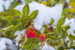 O fundo borrou a natureza do ramo de selvagem aumentou com as bagas maduras na queda sob a primeira neve Imagem de Stock