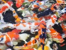 O fundo colorido da carpa Imagens de Stock