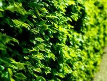 O fundo compôs das folhas verdes frescas iluminadas no verão ou mola forte ou luz sazonal do sol, com fora de área do foco imagens de stock royalty free
