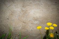 O fundo consiste em um muro de cimento, em uma grama e em uns dentes-de-leão imagem de stock royalty free