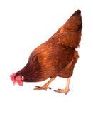 O fundo da clara de ovos da galinha da raça está estando, galinha marrom fotografia de stock