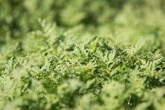 O fundo da grama verde O fundo é borrado Verdes dos brotos Imagem de Stock Royalty Free