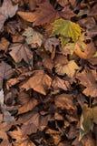 O fundo das folhas de outono alaranjadas marrons ? terra da queda pavimenta frentes imagem de stock royalty free