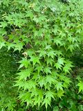 O fundo das folhas do verde do bordo foto de stock royalty free