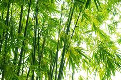O fundo de bambu verde Fotos de Stock