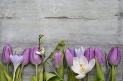 O fundo de madeira cinzento com as tulipas brancas roxas, o snowdrop e o açafrão limitam em seguido e espaço vazio da cópia, deco Imagem de Stock