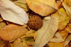 O fundo de marrom seca as folhas caídas Imagens de Stock Royalty Free
