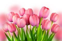O fundo de tulipas cor-de-rosa frescas, mola floresce fotos de stock