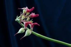 O fundo do cetim preto acentua flores elegantes do ladyslipper Imagens de Stock