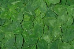 O fundo do trevo verde da folha com água deixa cair Imagens de Stock Royalty Free