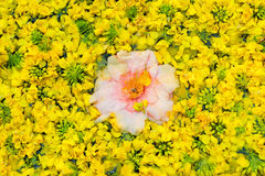 O fundo floral natural da violação floresce - o símbolo de Jeju Imagens de Stock Royalty Free