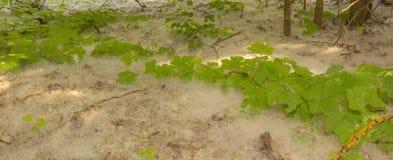 O fundo formou por uma hera terrestre verde em um fundo do pólen branco que se assemelha a uma queda de neve imagem de stock royalty free