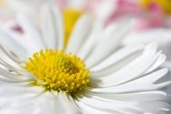 O fundo isolado com margarida branca floresce com um núcleo amarelo e umas pétalas cor-de-rosa fotografia de stock royalty free