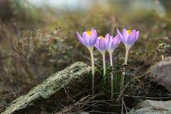 O fundo mágico da mola, açafrões roxos, mola floresce Fotos de Stock Royalty Free